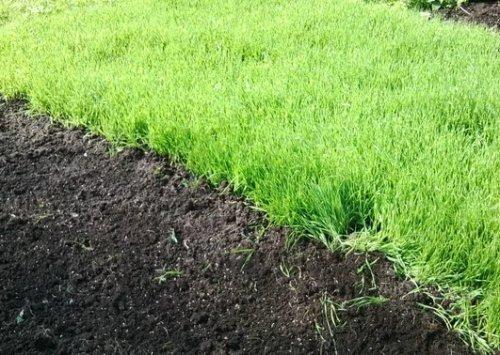 Сидераты на огороде: какая от них польза